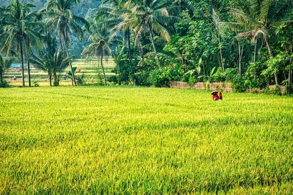 Twee vrouwen die aan het werk zijn op een rijstveld in Indonesië