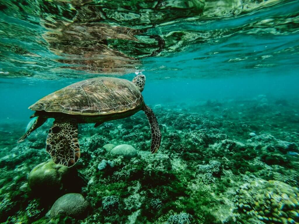 Een zeeschildpad die aan het zwemmen is bij de Great Barrier Reef in Australië.